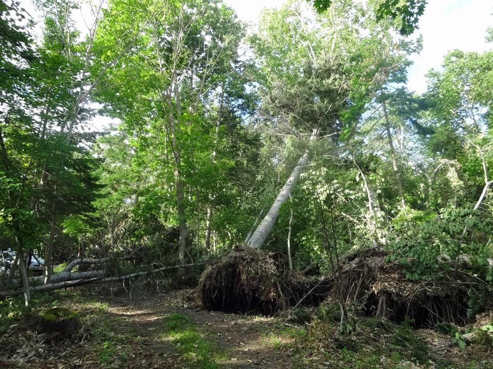 屈斜路湖畔の倒木